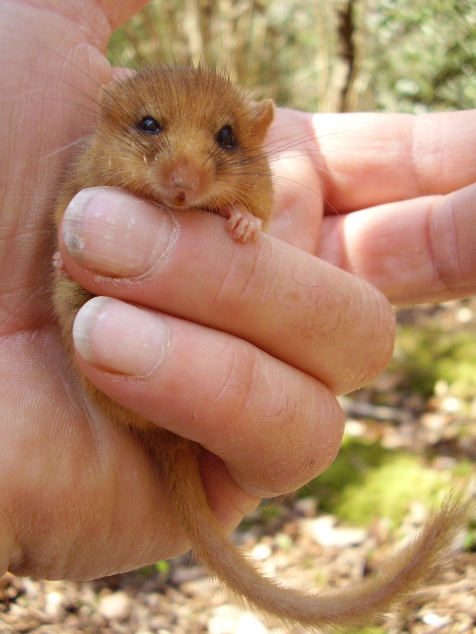 Dormouse in Paines Wood Binsted April 2015 - threatened by Arundel bypass Option A Pink/Blue Route
