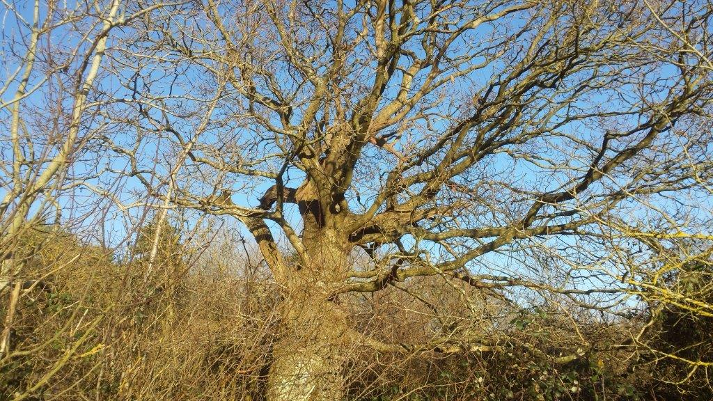 Huge ancient oak tree in Tortington Common - not just conifers